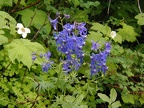 Delphinium (Latin Name: Delphinium trollifolium) and Thimbleberry (Latin Name: Rubus parviflorus) on Angels Rest trail.