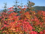 Vine Maple showing fall colors in late September on the Bluff Mountain Trail.