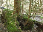 A nurse log along the trail provides nutrition for a new generation of trees.