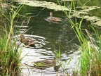 Ducks merrily paddle in a pond along the Burnt Bridge Creek trail, just east of Andreson Road.