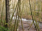 The trail passes above Gales Creek. You can see and hear Gales Creek from many places along the trail.