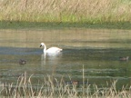 A Trumpeter Swan leisurely swims in Steigerwald Lake on the Gibbons Creek Wildlife Art Trail.