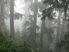 The mist shrouds the forest on a foggy day on the Glacier View Trail.