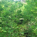 Some places on the Loowit Trail are overgrown and here you can barely tell the trail goes through these Vine Maples.