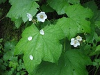 Thimbleberry (Latin name: Rubus parviflorus) grows along the Pine Ridge Trail on Kamiak Butte.