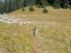 A marmot in Berkeley Park at Mt. Rainier National Park.