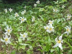 Avalanche Lillies bloom along the Oneonta Trail.