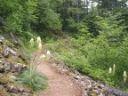 Bear Grass blooming along the Onenonta Trail.