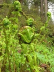 Fern Fiddleheads unfurling for the sprint to summer along the Latourell Falls Trail
