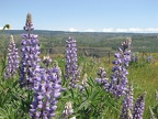 Lupines blooming in the meadows at the Tom McCall Nature Preserve.