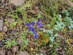 Larkspur and sedum growing along the trail.