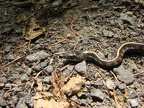 A closeup of a Garter snake on the trail which has become immobile.