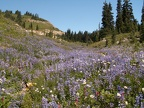 Lupines on Naches Peak Trail