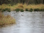 Mallards and other ducks evading nearby hunters. Hunting is allowed next to the Ridgefield National Wildlife Refuge.