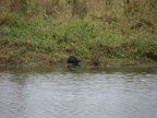 Nutria coming out of the water at the Ridgefield National Wildlife Refuge.