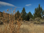 Junipers, Sagebrush, thistles, and grasses dominate the landscape along the Otter Bench Trail.