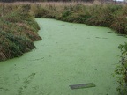 Green scum on Gee Creek as it slowly flows north from Carty Lake in the Ridgefield National Wildlife Refuge.