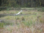 Sandhill Crane taking off at the Ridgefield National Wildlife Refuge.