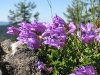 Cardwell's Penstemon (Latin name: Penstemon cardwellii) is a low perennial that forms a mat and has purple to blue-violet flowers. It is common on disturbed, rocky soils.