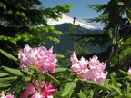 Pacific Rhododendron (Latin name: Rhododendron macrophyllum D. Don ex G. Don) blooming along the Salmon Butte Trail. Mt. Hood is the snowy peak in the background.