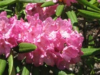 Pacific Rhododendron (Latin name: Rhododendron macrophyllum D. Don ex G. Don) in full bloom along the Salmon Butte Trail.