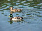 A pair of ducks swimming in Klineline Pond along the Salmon Creek Trail.