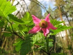 Salmonberries bloom early spring and abound in Tryon Creek State Park.