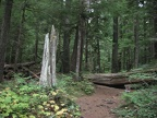 Dense forests are surround the short trail for Twin Firs at Mt. Rainier National Park.
