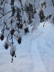 Frozen alder cones on the Pine Marten Trail.