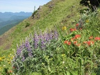 Lupines and Indian Paintbrush bloom on the slopes of Dog Mountain.