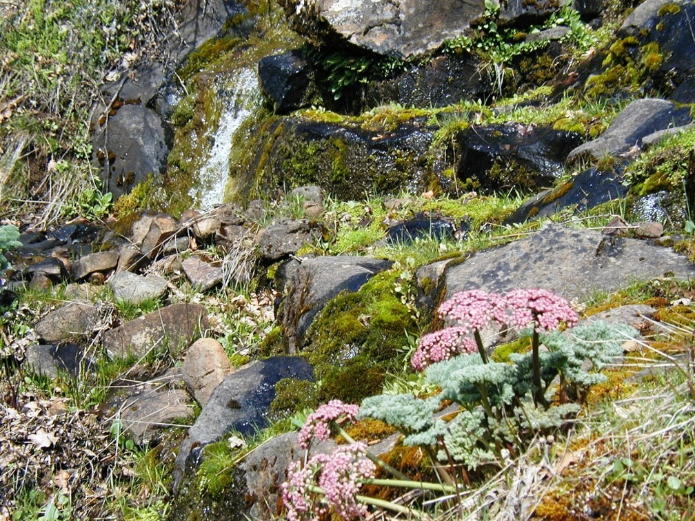 Wild Parsley (Latin Name: Lomatium columbianum) along a tributary to Catherine Creek in the Columbia Gorge.
