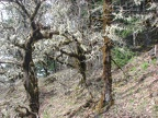 Lichen covered oak trees make eirie sentinals as you walk past. This is on the cliffs above Eagle Creek.