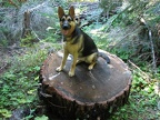 Jasmine sits on a wheel that was sliced from a deadfall across the trail. This shows how big around many of the trees are in this area.