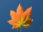An azure sky provides a backdrop for a single Vine Maple leaf near Warren Lake on Mitchell Point Trail.
