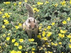 A ground squirrel runs about hoping for a handout. It didn't hang about long because I didn't offer it any food. It later came right up to me hoping for food.