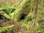 Bryophyte mosses grow lush near Munson Creek Falls.