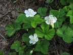 I think this is a dwarf bramble blooming along the Owyhigh Trail.