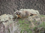 A marmot hangs out near the Fryxell Overlook.