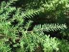 Western Hemlock (Latin name: Tsuga heterophylla) predominate the lower portions of this trail. Here is a picture of their soft, flat needles.