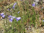 Blue bell-shaped flowers of Harebell Campanula (Latin Name: Campanula Rotundafolia) along the Saddle Mountain Trail.