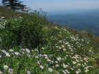 Wildflowers just below the summit of Saddle Mountain