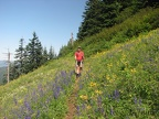 Steve hikes along  PCT heading to Table Mountain through a field of wildflowers.