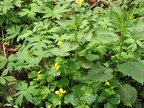 Here are several native plants along the Trillium Trail. Yellow violets, Stinging Nettle and Coltsfoot mostly fill the picture.