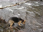 Jasmine gets a drink from the Devils Lake fork of the Wilson River.