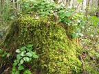 An old stump rots and provides a haven for moss and Salal along the University Falls Trail.