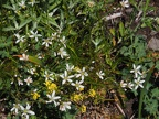 The white flowers are Matted saxifrage. (Latin name: Saxifraga bronchialis var. vespertina)