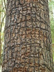 I thought the woodpeckers had made an interesting pattern on the trunk of this tree
