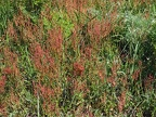 These are the largest patches of sheep Sorrel or Sour dock that I have ever seen growing along a trail.