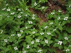 Bunchberry or dwarf dogwood carpeting the trailside on June Lake Trail.