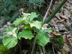 Trillium growing along the trail.